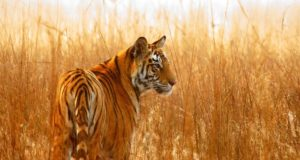 popular business stories Popular Business Stories tiger population in nepal e1538731150737 300x160